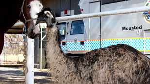 Íme, egy emu, ami lónak képzeli magát