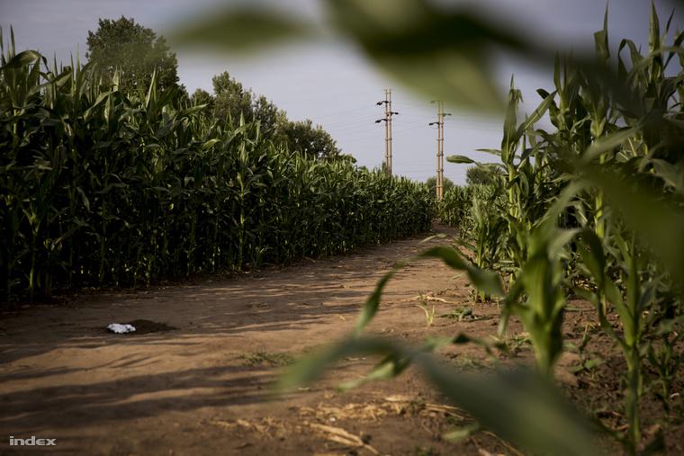 A téglagyárból egy kukoricáson át vezet az út a magyar határ felé. Ezrek gyalogoltak már itt, ezért van ennyire kitaposva.