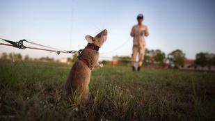 A legkeményebb patkányok kiszagolják a taposóaknákat