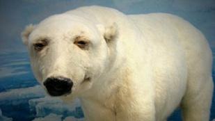 A legbénábban kitömött állatok legnyomibbjai: a betépett jegesmedve és az ülve merengő róka
