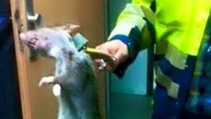 Gigászi patkányt fogtak Angliában