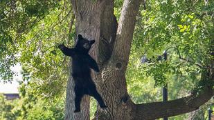 Ezt csinálja a maci, ha leesik a fáról