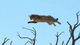 Így repül a vadmacska, ha karakál üldözi