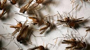 Undorító szúnyogok jönnek, fonálférgeket hoznak, de mindezért a gumiabroncsok felelősek