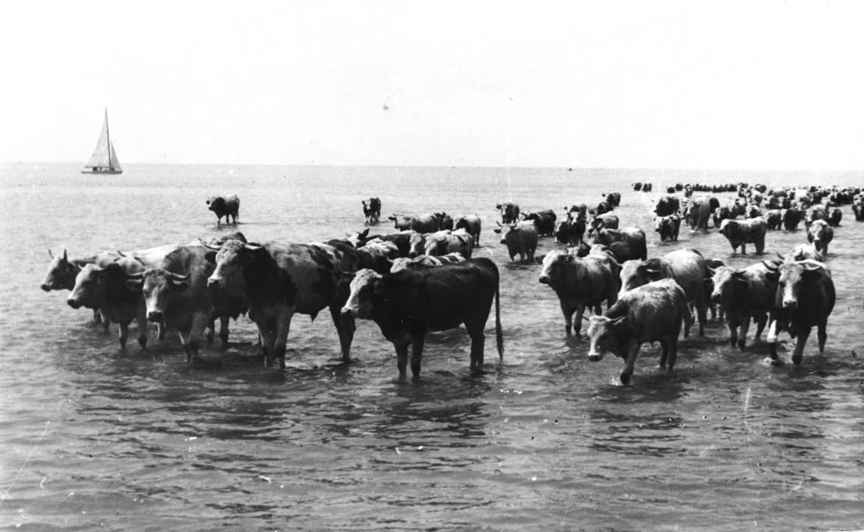Bár egyre népszerűbb üdülési célpont lett, a Balaton a két világháború között is megőrizte azt a csendes, falusias légkört, ami a középkor óta jellemezte. Még 1939-ben (amikor a fenti fotó készült) is simán előfordult, hogy a fürdőzők mellett felbukkant egy hűsölni vágyó marhacsorda, mivel a XIX. században errefelé ez volt a világ legtermészetesebb dolga. Lisznyai Elemérről például fel is jegyezték a kortársai, hogy 1896-ban minden falusi kinevette Balatonlellén, amiért nagyravágyó tervekkel egy bivalylegelő közepén akart tóparti villát építeni. Az idő azonban őt igazolta: az első évek 40 fős vendégserege után1899-ben már 460 vendég jött Lellére, ma pedig csak itt 81 000 az egy évre jutó vendégéjszakák száma.