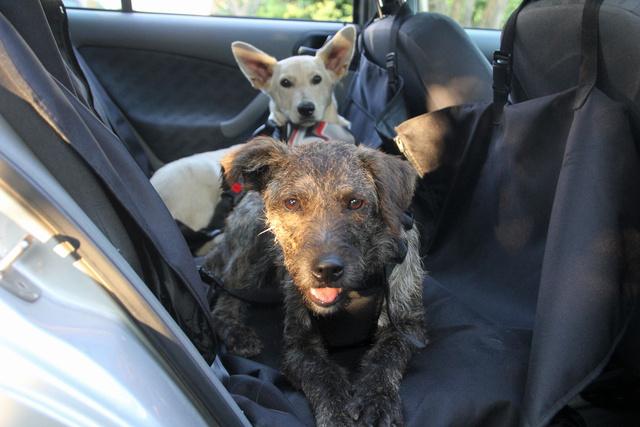 Jancsi és Mici kutyák még kicsik, ezzel együtt egyáltalán nem élték meg vegzálásnak sem a hámba kötést, sem a dobozba bemászást - igaz, nem is kellett órákat így lenniük
