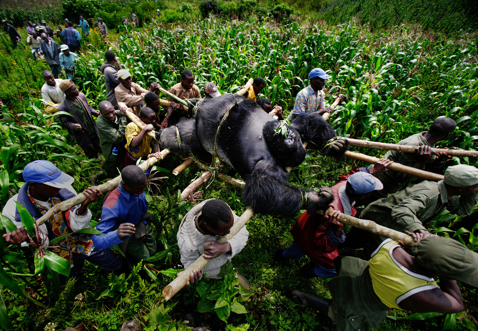 Ezüsthátú gorilla holttestét cipeliek a helyiek Gomában. Az állatot, és vele együtt négy nőstény gorillát egy fegyveres csapat mészárolta le 2007-ben, akik így akartak erőt demonstrálni az állatok természetes élőhelyét védő parkőröknek. A fegyveresek illegális fakitermelők emberei voltak, a környék ugyanis egyben a térség leggazdagabb faszén-forrása is. A gorillát tíz golyóval terítették le.
