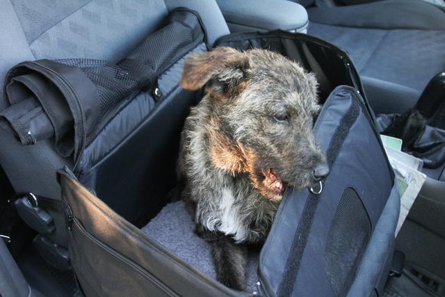 Na, igen, egy érdeklődő, izgága kutya azonnal nekiesik az ilyen puha szállító kosaraknak, és pillanatok alatt használhatatlanná csócsálja. A kemény dobozokkal ez azért nehezebb meló, de szerintem Jancsi azt is megoldaná -komplett  faágakat képes apróra forgácsolni