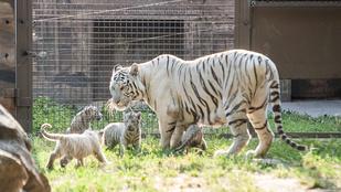 Végre ön is megnézheti a győri állatkert négyesikreit!
