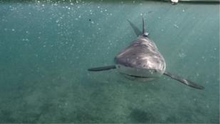 Cápákat ilyen nyugodtnak még nem látott