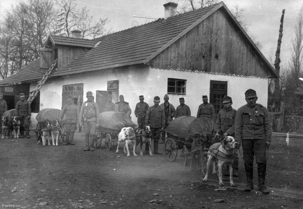 A kutyák az 1870-es évektől a hadviselésben is megjelentek. Az első világháborúban az olaszok, a franciák, a belgák, az angolok az oroszok és mi, magyarok is használtunk vontatókutyákat az ellátmány és nehézfegyverzet szállítására, ahogy ez a fenti, 1915-ös fotón is látható. De a jó szaglásuk miatt egyéb feladatokra is alkalmasak voltak: felkutatták a frontvonalon megsebesült katonákat, és a romok közt, vagy erdőben rejtőzködő ellenfelet is képesek voltak megtalálni. Gyorsaságuk és kis termetük kiválóan alkalmassá tette őket az egységek közötti futárfeladatok ellátására. Sok kutya a gáztámadásokat is előre jelezte, és arra is megtanították őket, hogy a lövészárkot megközelítő ellenséget ne ugatással, hanem halk morgással jelezzék az őrszemnek. A fogolytáborok őrzése mellett a lövészárkok rágcsáló mentesítésére is kutyákat alkalmaztak, de a velük való játék a pihenő vagy sérült katonák morálját is javította.