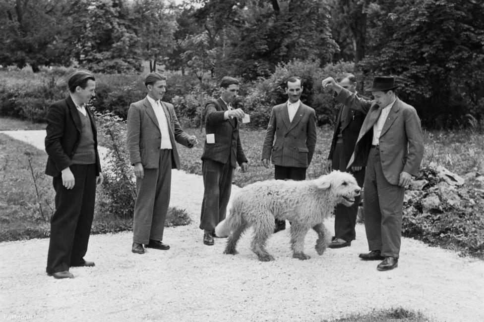 A kutyákkal való helyes bánásmód annyira fontos volt vidéken a 40-es évek második felében, hogy a mintagazdáknak 1949-ben tanfolyamot is szervezett a párt – ekkor készült ez a felvétel is. A képen látható, loncsos szőrű kutya komondor vagy kuvasz lehet. Ezek a legismertebb magyar fajták, amik főleg a kunok lakta vidékeken számítottak nagy kedvencnek a ház körül. Honfoglalás kori régészeti leletek bizonyítják, hogy már évszázadokkal ezelőtt velünk éltek. A kuvasz és  komondor méretéből adódóan nem fürge terelőkutya volt, hanem nekik kellett megvédeni a nyájat és a gazdát a farkasoktól, valamint a rossz szándékú tolvajoktól. Mindkét fajta kiváló éjjeliőr, jellegzetes fehér színük pedig nagyon hasznos, amikor a holdfényben kell megállapítani, ki a barát és ki az ellenség.