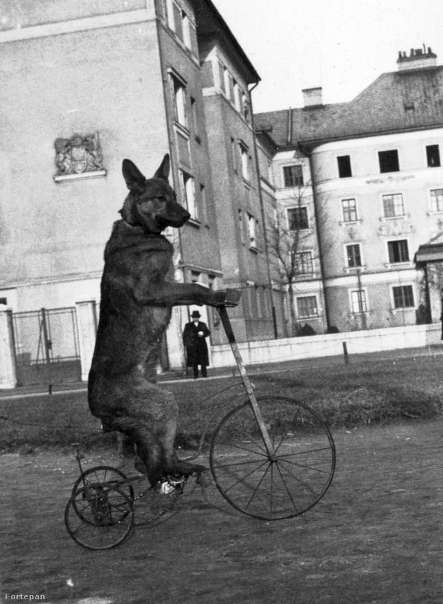 Agilis német juhász triciklizik a Raktár utcai házak között, 1938-ban. A meredten elálló fülei miatt úgy tűnik, csak a fotós akarta ezt a mutatványt, a kutya nem igazán.