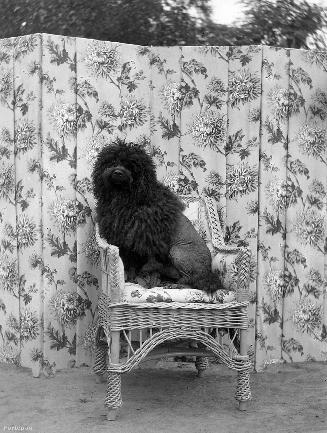 A városi, módosabb polgárság viszont leginkább csak kedvtelésből tartott kutyát. Az állatokat sokan már évtizedekkel ezelőtt is olyannyira családtagként kezelték, hogy akár a székekre, kanapékra is felmászhattak – ahogy ez az uszkár módra megnyírt kis puli is tette 1932-ben.