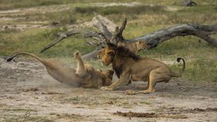 Senki sem tudja, él-e még Cecil, az oroszlánmártír öccse