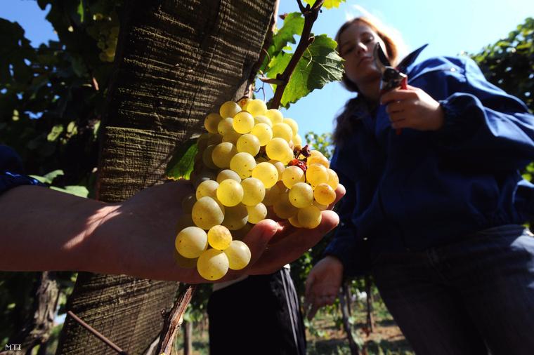 Borásztechnikus tanulók szüretelik a chardonnay szőlőt Budafokon a Soós István Borászati és Üzleti Szakközépiskola és Szakiskola Promontor Schola szőlőskertjében. A 110 éves múltra visszatekintő intézményben a Budapesti Corvinus Egyetem Borászati Tanszékével együttműködve szakmai szervezetek támogatásával a borász életpálya modell keretében szakmunkásokat technikusokat képeznek.