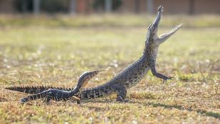 Gyík birkózott a krokodillal, de aztán kibékült vele