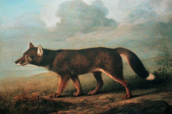George Stubbs: Nagytesű Kutya (Dingó) portréja Új-Hollandiából