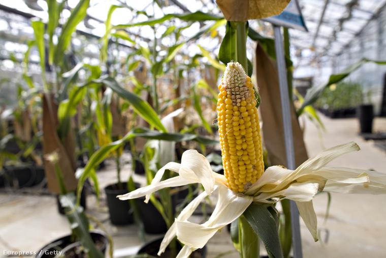 A GMO örök vita tárgya