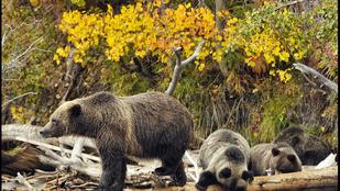 Medvének öltözött ember háborgatott medvéket
