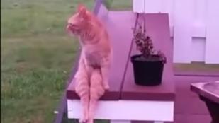 A macska, ami embernek hiszi magát