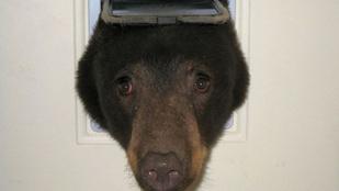 A testképzavaros medve azt hitte, befér a macskaajtón
