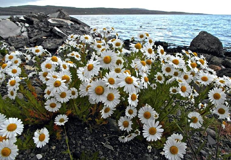 Nem rózsák ugyan, de fehér virágok Izlandon