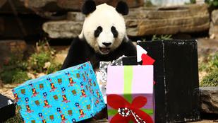Annyira cuki a szülinapi ajándékait bontogató panda, hogy sírunk
