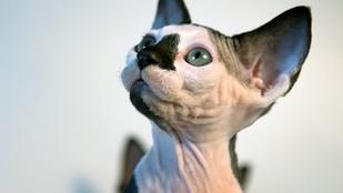 Cukiság: ébredjen két új macskafajtára