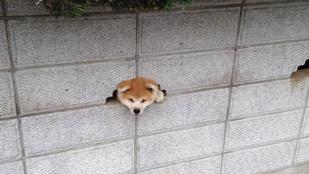 Ez a kutya annyira lelkesen szeretett volna köszönni, hogy a feje egy lyukba szorult
