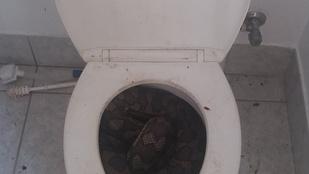 Az ausztrál kígyók elkezdtek beköltözni a vécékbe