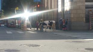 Semmi, csak egy tehén sétálgat Los Angeles belvárosában